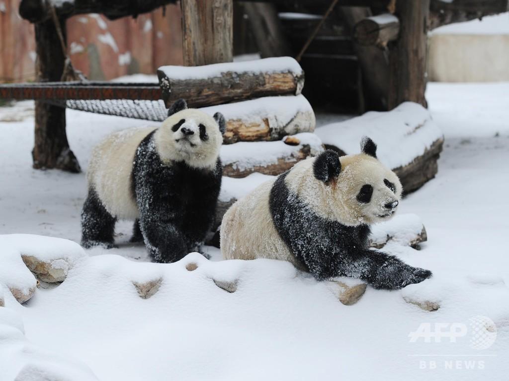 雪だいすき! 大はしゃぎの長春のパンダ姉妹