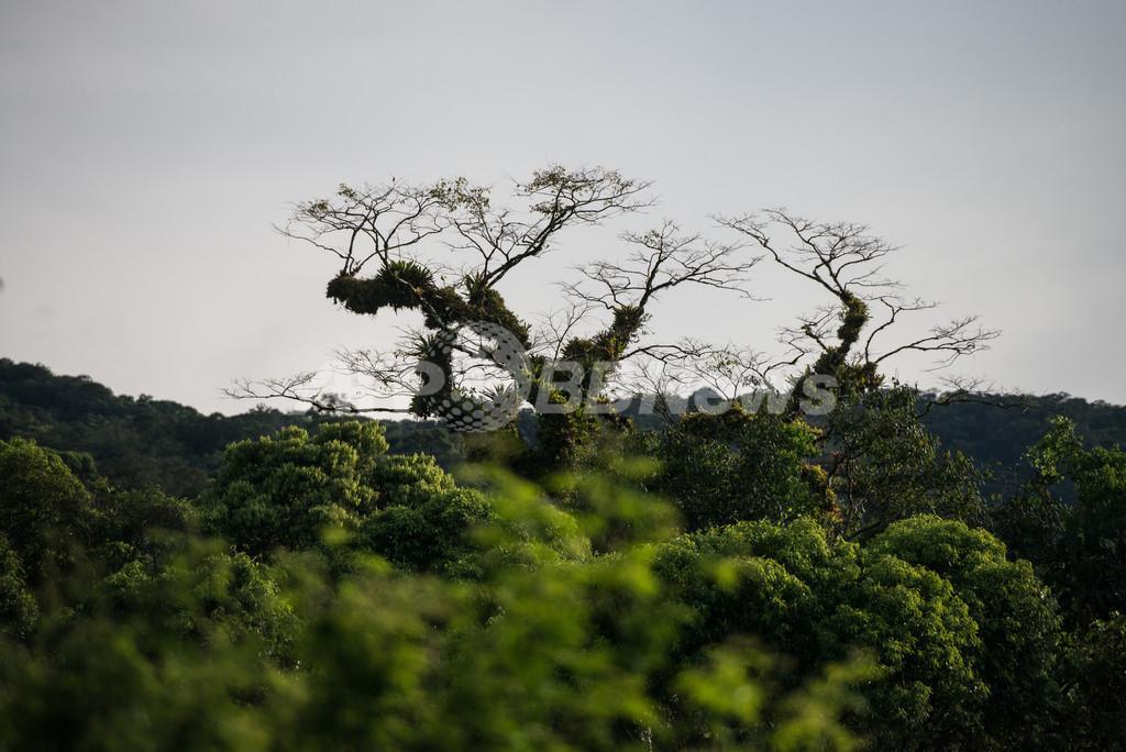 アマゾン熱帯雨林の樹木、数種類の樹木が大半を占める