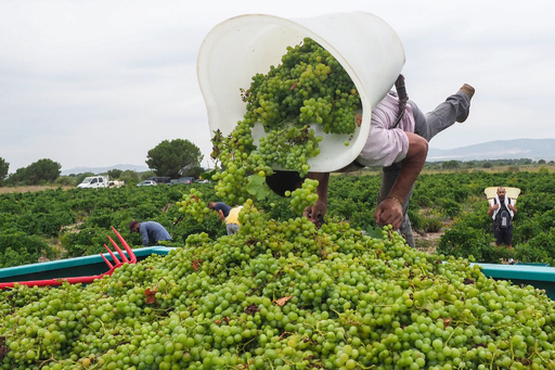 【今日の1枚】収穫したブドウを「背負い投げ」