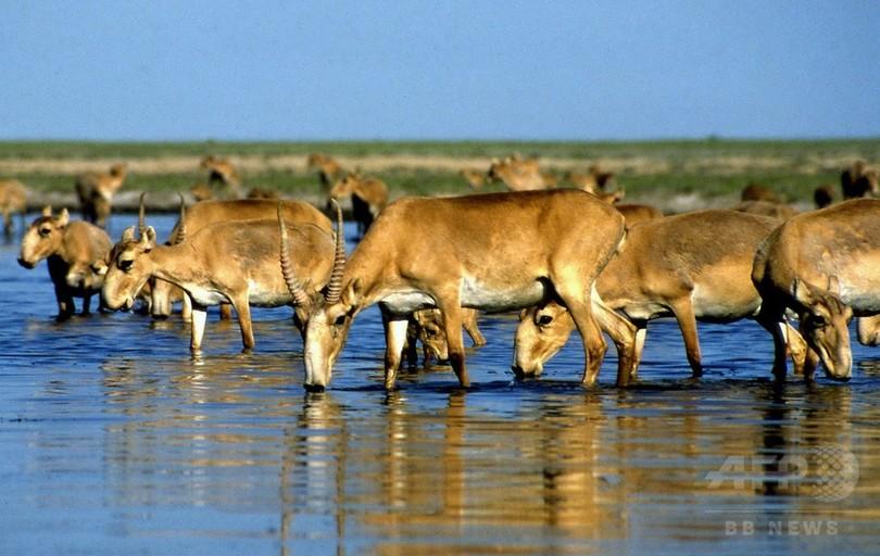 絶滅危惧種サイガが謎の大量死、2週間で12万頭 カザフスタン