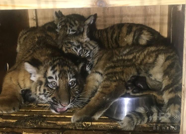 木箱に閉じ込められたシベリアトラの子ども3頭、レバノンで保護