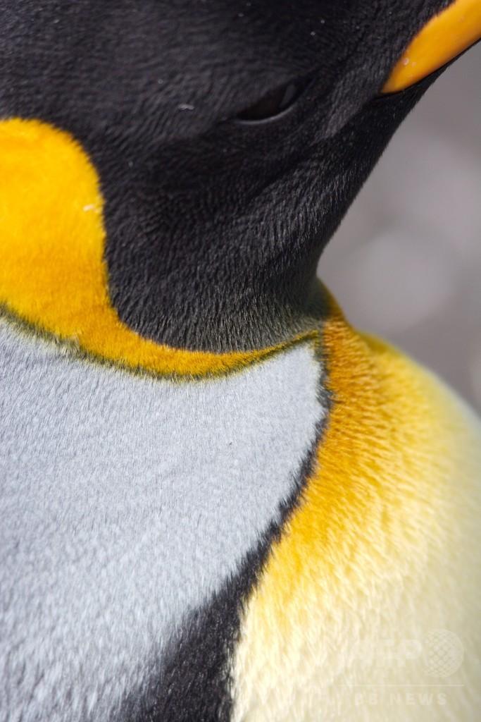 餌か繁殖か…オウサマペンギンに迫る残酷なジレンマ 地球温暖化