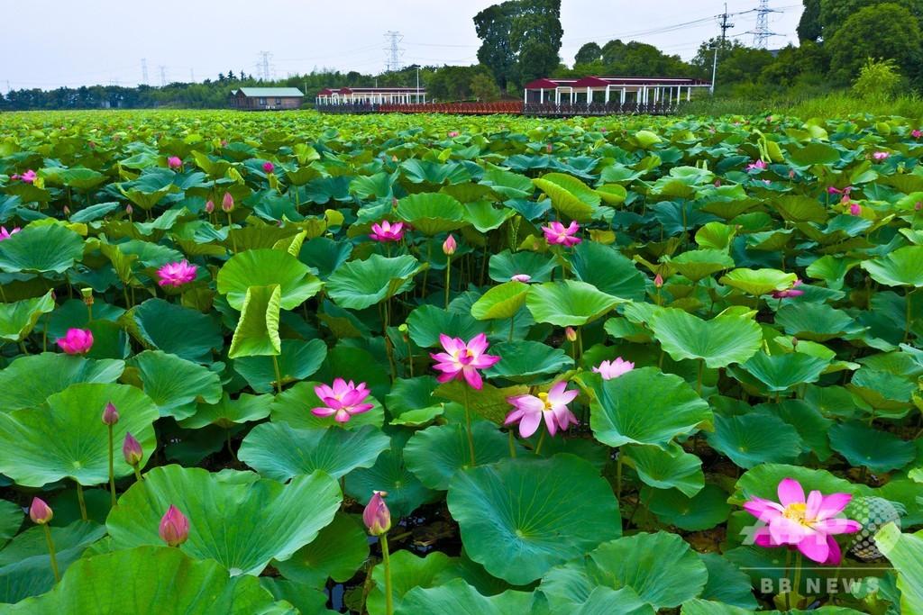 あたり一面に広がるハスの花が観光客を魅了 江蘇・太倉