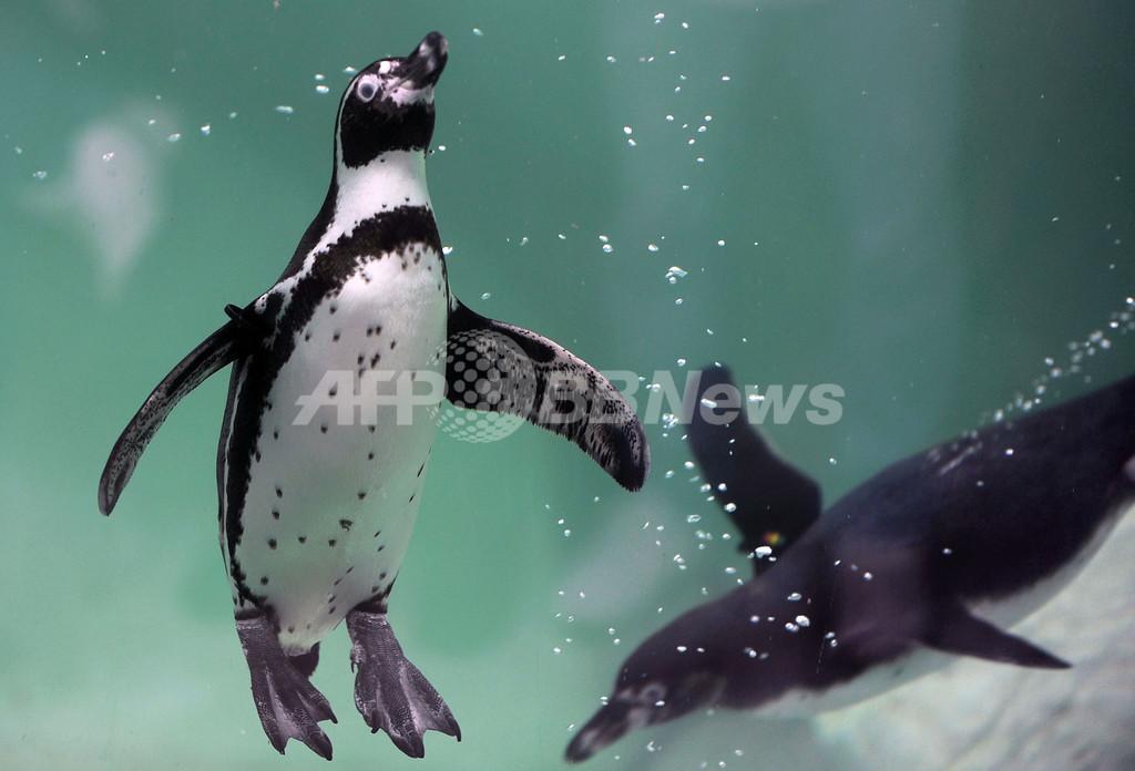 のびのび泳ぐペンギンたち、グアテマラ