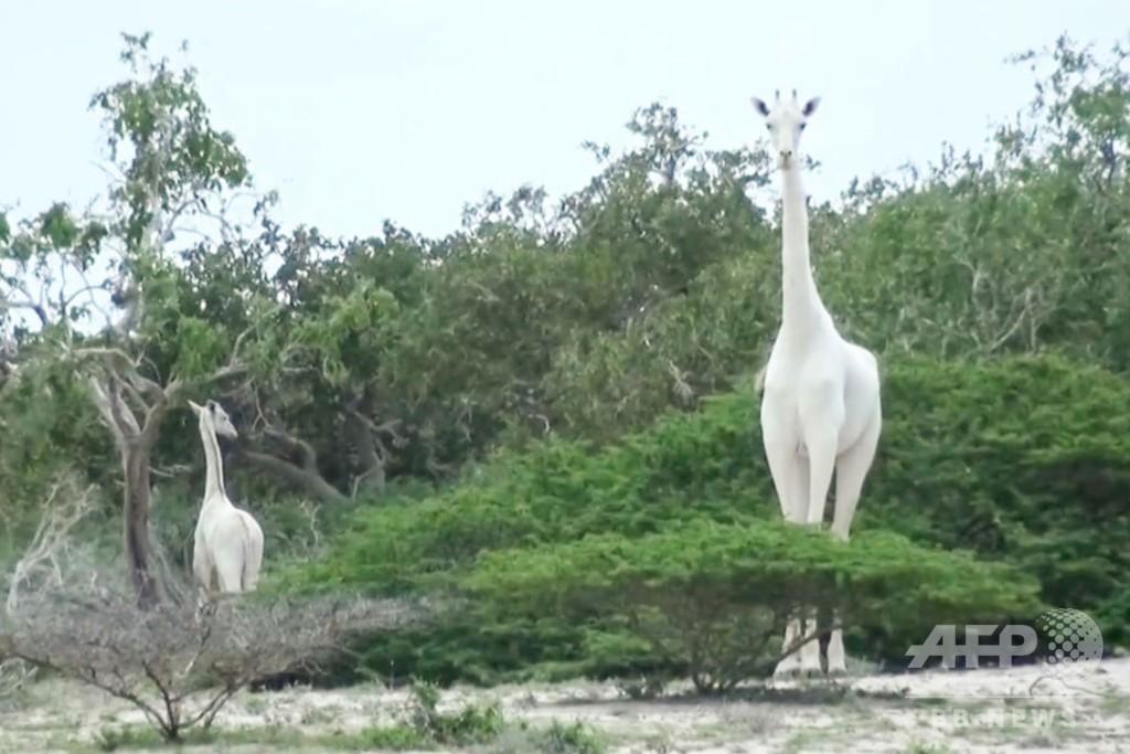 ケニアの希少な白いキリンの母子、密猟者が殺害か 残りは1頭に