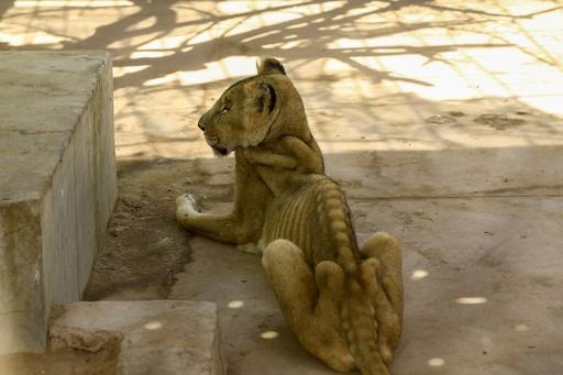 痩せこけた栄養失調のライオンを助けて、ネットで呼び掛け スーダン