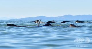 NZでまたクジラ大量死、海水温上昇が関連か