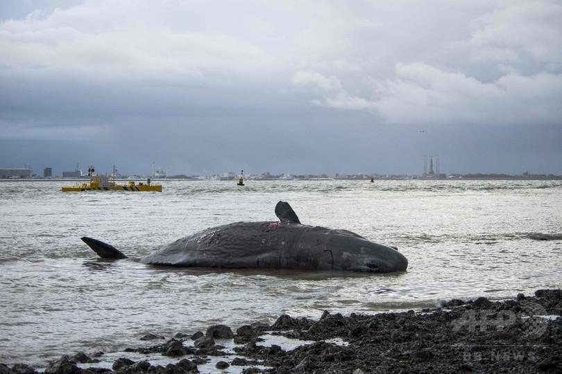 マッコウクジラ7頭、オランダ海岸に打ち上げられる