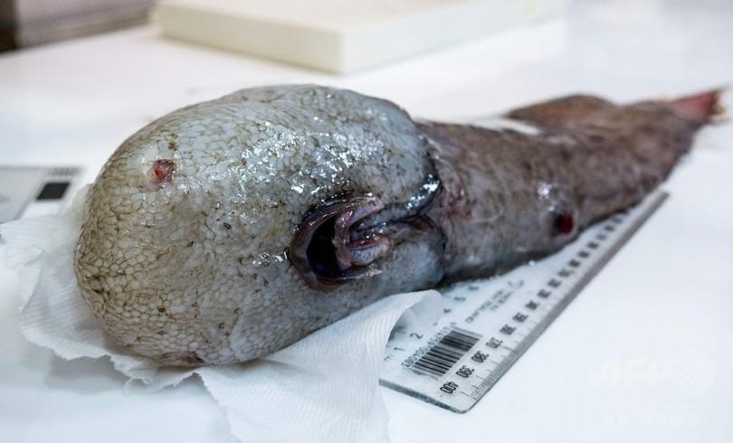 豪東部沖の深海で「顔のない魚」採取、1873年に1度だけ記録