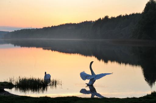 優雅な湖面の白鳥、ベラルーシ