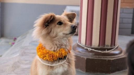 動画:花飾りで祝福 犬の祭り「ククル・ティハール」 ネパール