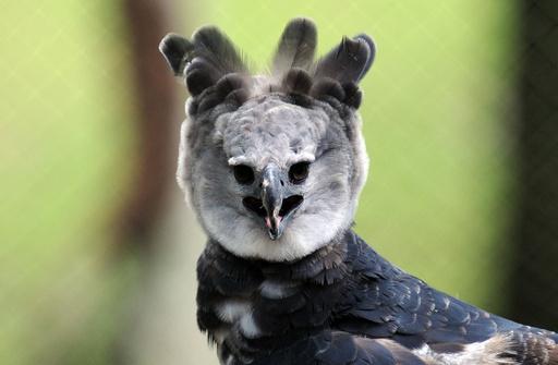 羽毛の王冠誇らしげに、パナマの国鳥オウギワシ