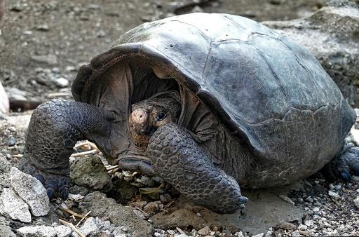絶滅したはずのゾウガメの一種を発見 ガラパゴス諸島