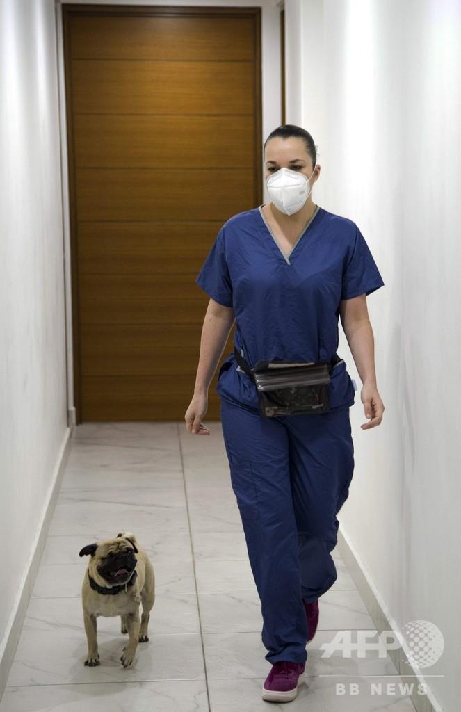 セラピー犬のパグ「ハーリー」 医療従事者を笑顔に