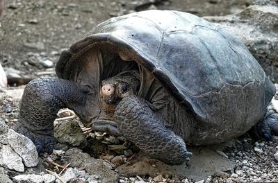 絶滅したはずのゾウガメの1種を発見 ガラパゴス諸島