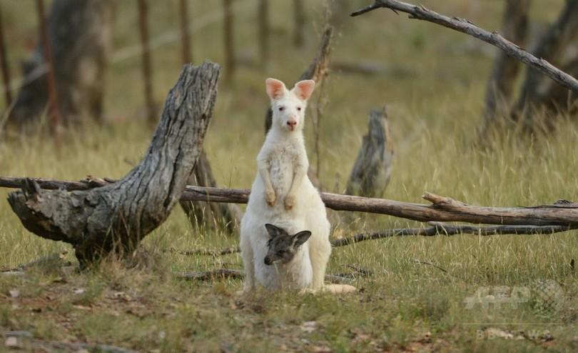 レース場のそばに珍しいアルビノのワラルー、オーストラリア