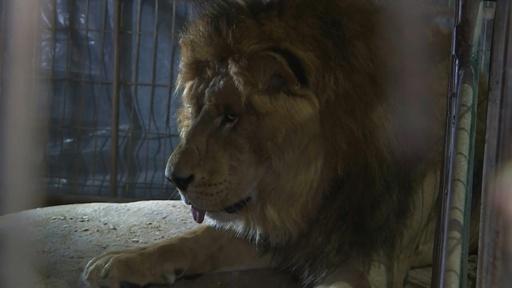 動画:ガザの動物園、資金難でライオンなどヨルダンに移送