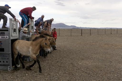 絶滅寸前モンゴルの古代馬 繁殖プログラムで生息数回復、故郷の草原へ