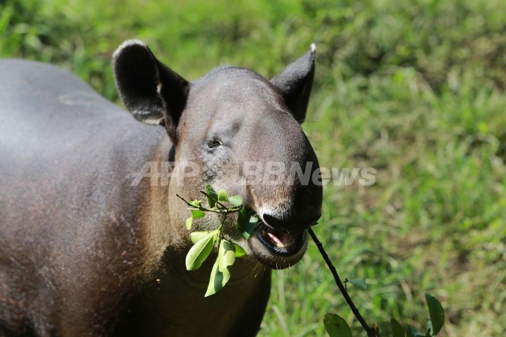 絶滅危惧種のバクを守れ、ニカラグア国立動物園の取り組み