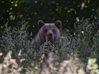 クマやオオカミの駆除へ、人への襲撃増加で ルーマニア