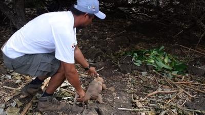動画:南米ガラパゴス、サンティアゴ島にリクイグアナが戻る 約2世紀ぶり