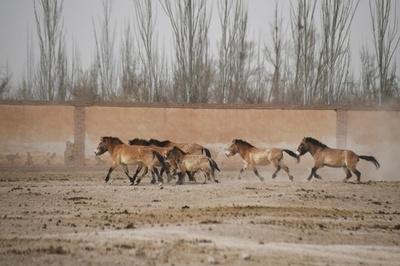 中国の野生馬、世界の4分の1に相当 新疆、甘粛などに515頭