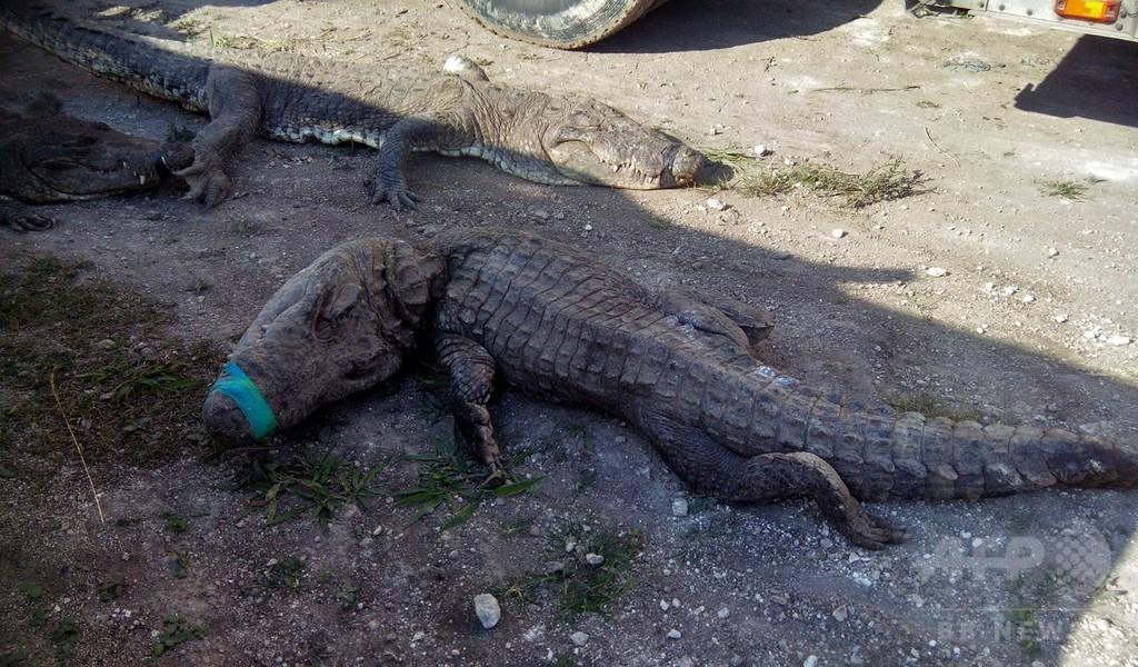 保護施設にトラック輸送中のワニ124匹死ぬ、窒息か メキシコ