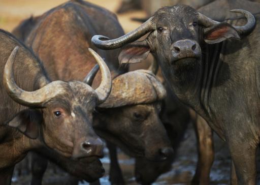 ジンバブエがバッファロー狩りを解禁、スポーツ狩猟市場の獲得狙う