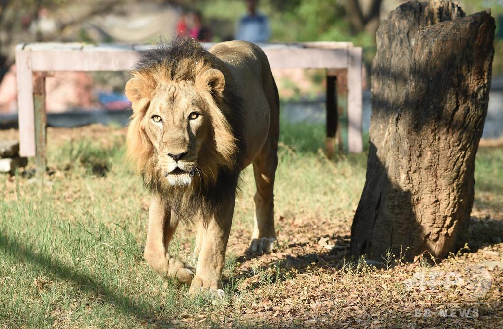6メートルの壁よじ登り動物園に侵入、ライオンにかみ殺される インド
