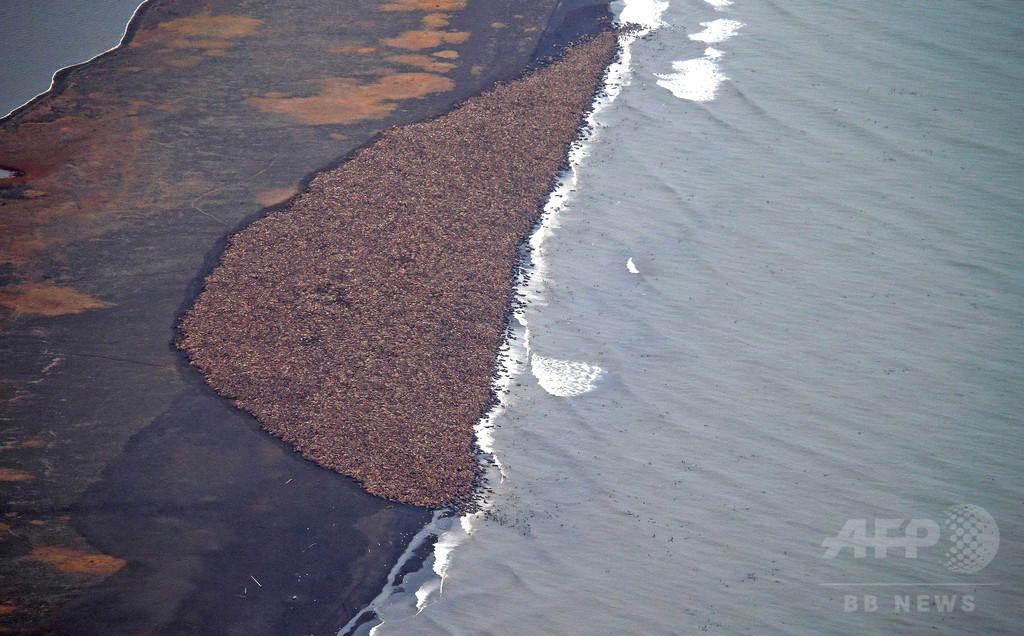 セイウチ上陸で飛行制限、暴走で幼獣大量死の恐れ 米アラスカ