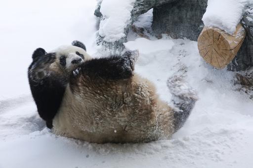 雪の中で大はしゃぎ! ジャイアントパンダの「思嘉」