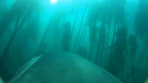 動画:オットセイを追うホオジロザメ、背びれに付けたカメラの映像