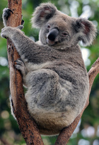 幸運なコアラ、人工呼吸と心臓マッサージで一命取り留める