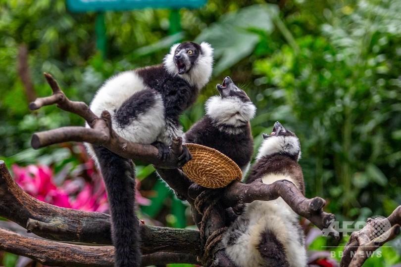 三つ子のエリマキキツネザルを一般公開 広州の動物園
