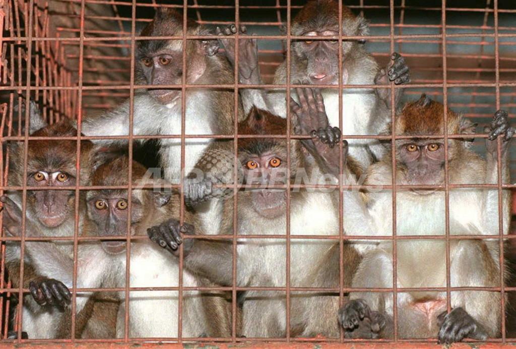 エボラ出血熱、発症後の霊長類の回復に成功 米研究