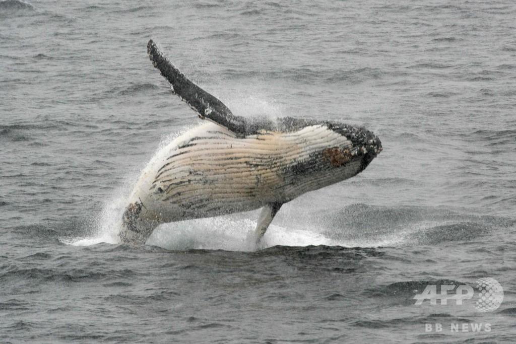 IWC総会、クジラ保護推進の宣言採択 捕鯨支持国は反発