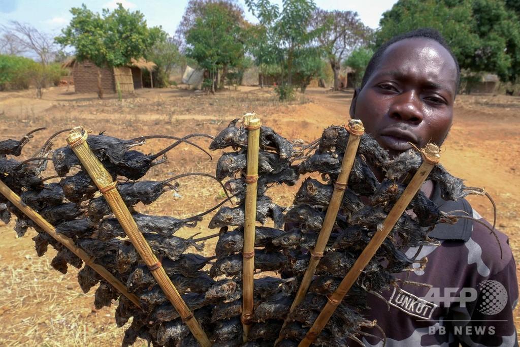 おやつの串焼きネズミが貴重なたんぱく源に コロナで食料不足悪化 マラウイ