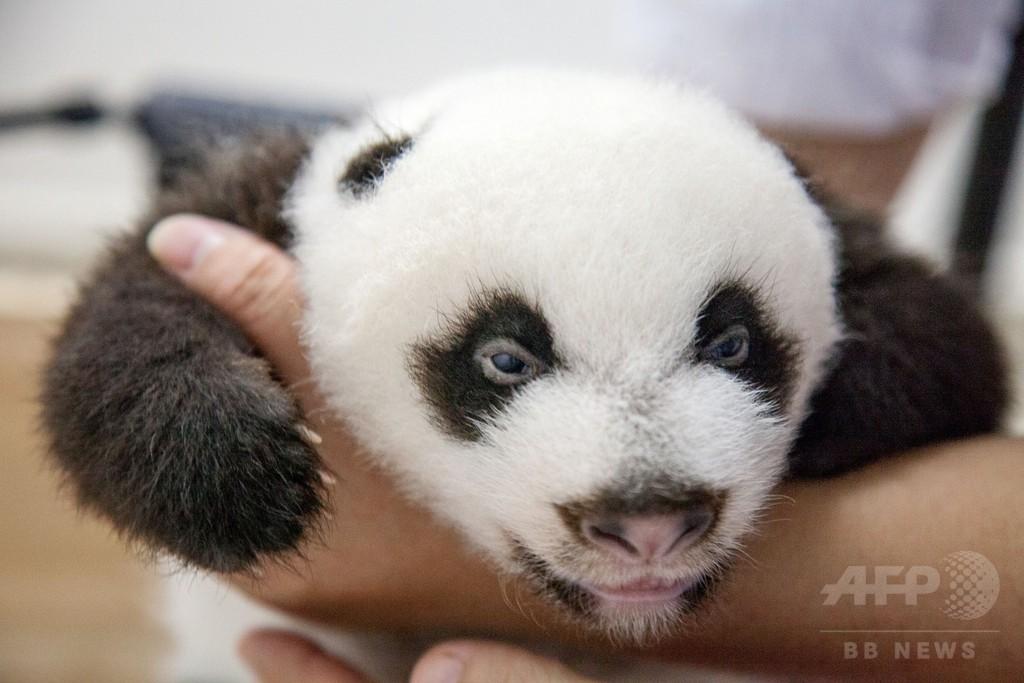 パンダの三つ子、白黒はっきり 中国