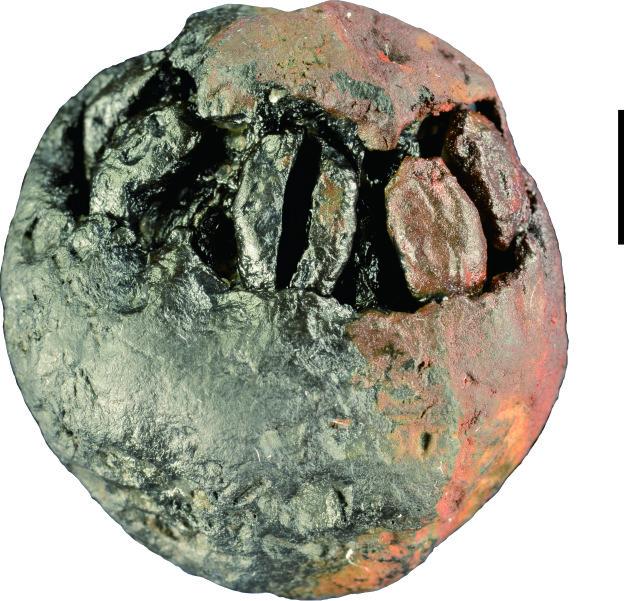 中米両国の学者、1500万年前のチャンチンモドキの化石を発見