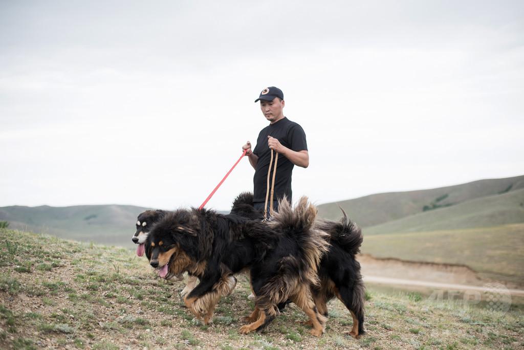 モンゴルの最良の友、牧畜犬モンゴリアン・バンホールを救え