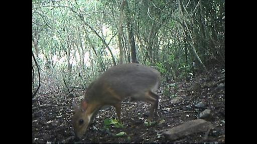 動画:ベトナムのマメジカ希少種、約30年ぶりに森で発見 姿捉えた映像