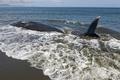 浜辺に打ち上げられたクジラ、9頭のうち4頭が死ぬ インドネシア