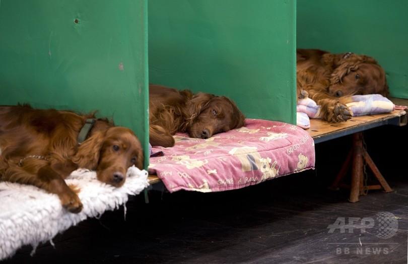 出場犬に毒殺の疑い、英ドッグショー「クラフツ」