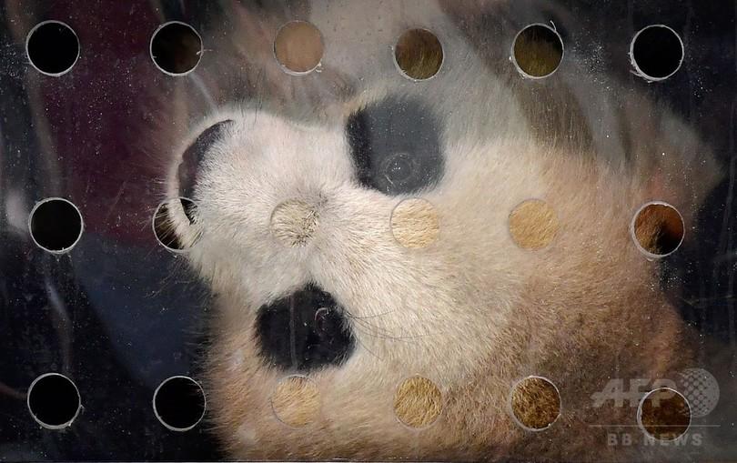 ドイツに中国からパンダの夢夢と嬌慶が到着