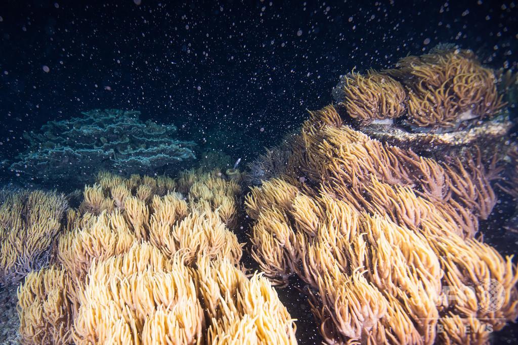 豪グレートバリアリーフでサンゴが一斉産卵、過去5年で最大規模か