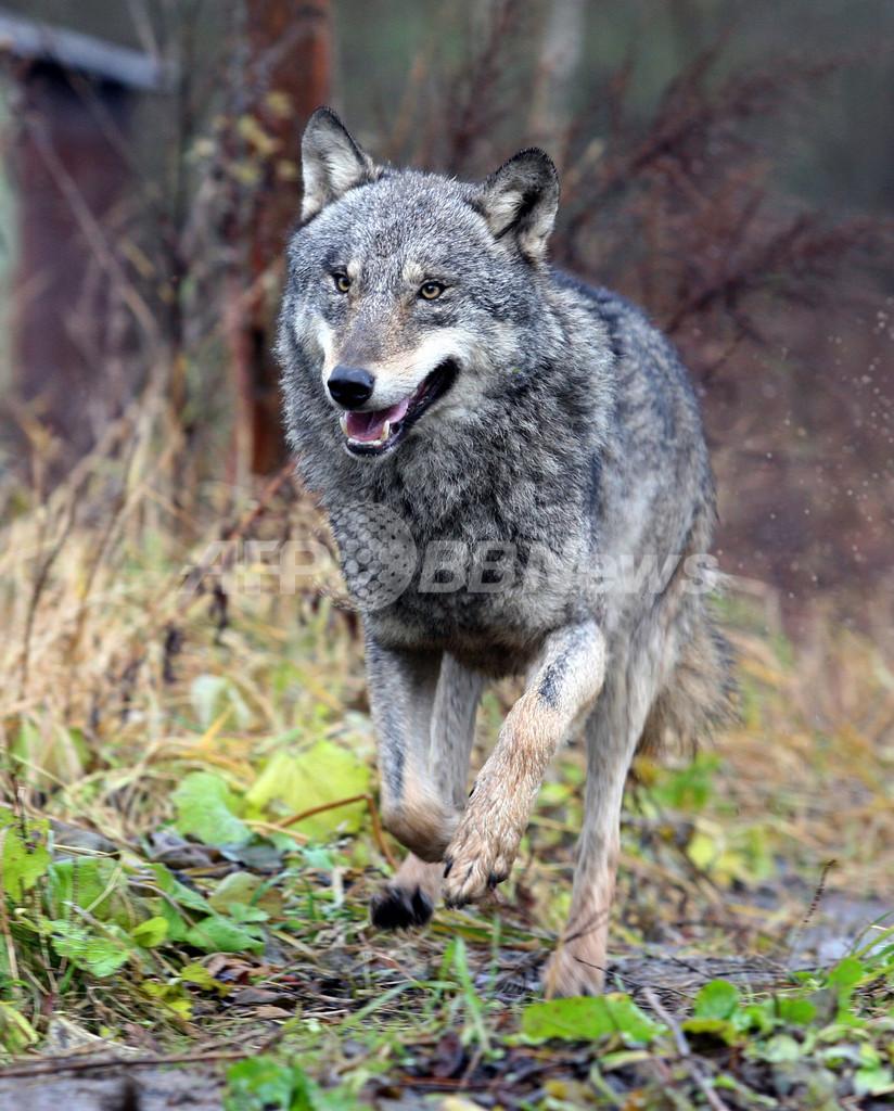 野生オオカミの皮に報奨金、極東サハ共和国