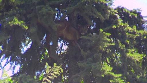 動画:犬や人が怖くて木の上に・・・野生ピューマ救出大作戦! 保護の瞬間 チリ