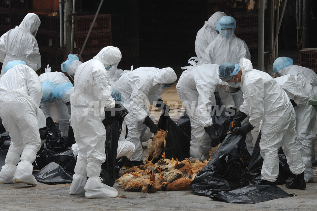 H5N1型を検出、市場のニワトリ1万7000羽を殺処分 香港