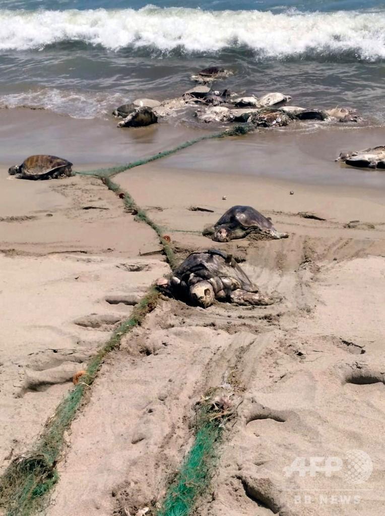 絶滅危惧のウミガメ、禁止の漁網に絡まり300匹超死ぬ メキシコ