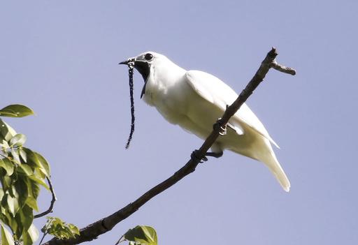 アマゾン生息の鳥、世界一大きな鳴き声を記録 求愛行動で
